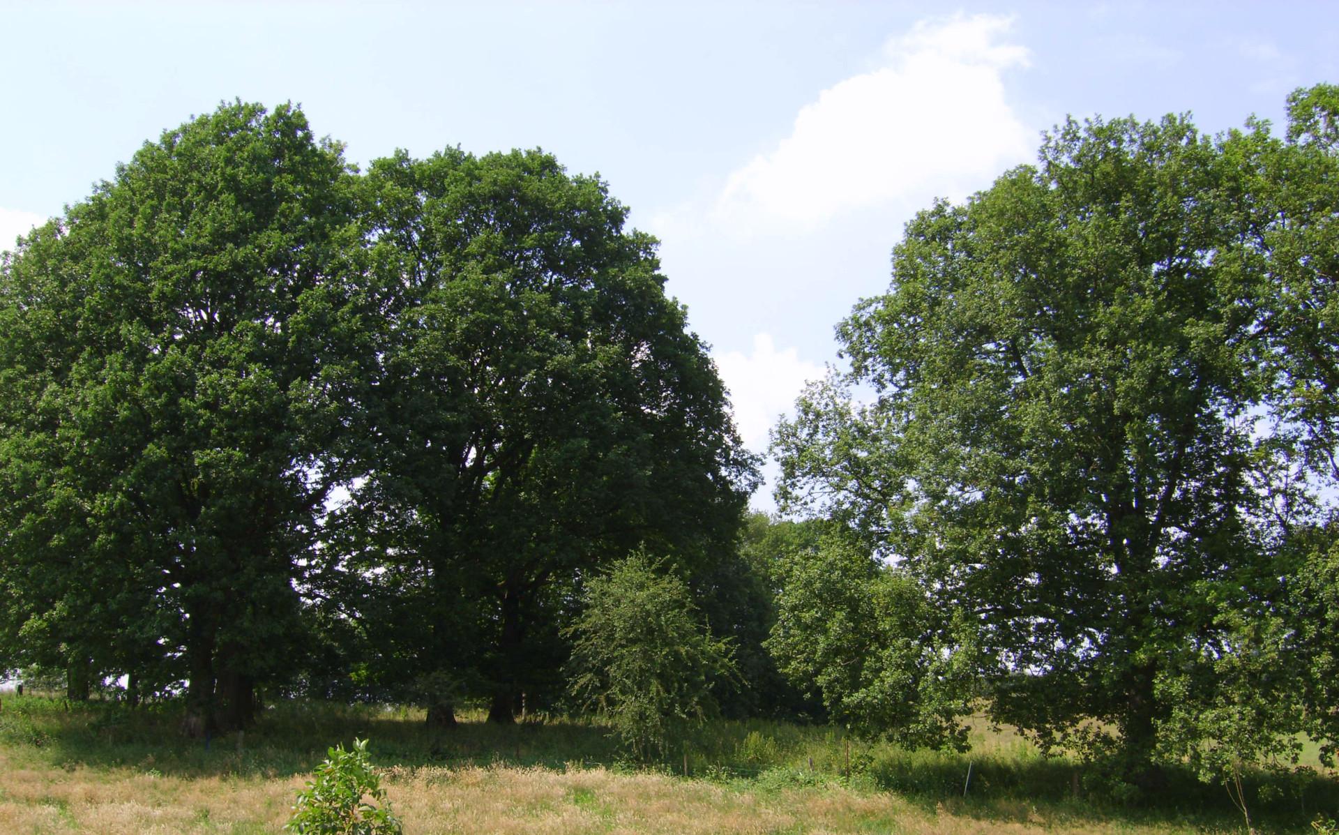 ensemble de 4 beaux chênes au lieu-dit Trou aux renards